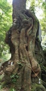 来宮神社の樹齢2000年大楠