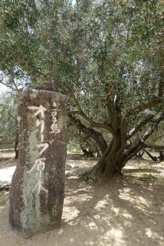小豆島オリーブ園オリーブ原木