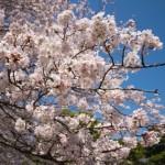 Nikon D5300で2015年の桜を撮影