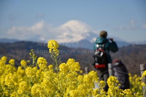 富士山と菜の花-吾妻山公園