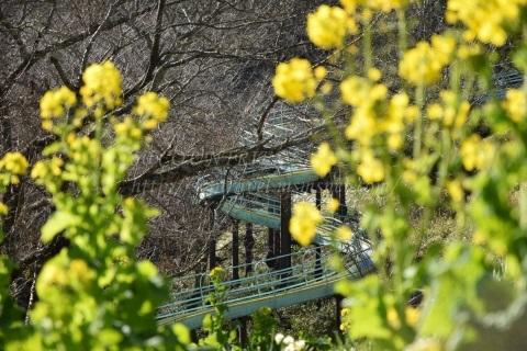 菜の花-吾妻山公園