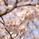 2017年の桜はなんだかイマイチ?