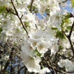2017年4月中旬の桜スナップ(満開~葉桜)