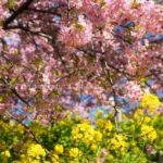 満開の河津桜&菜の花と小田原ランチ