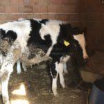 [牛プロジェクト]仔牛を3頭買いました