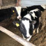 [牛プロジェクト]順調に成長している3頭の仔牛