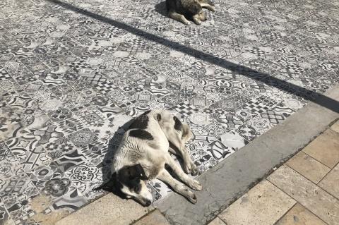 トルコの犬