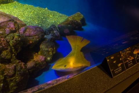 金色ヒラメ