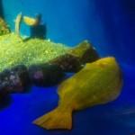 新江ノ島水族館で幸運を呼ぶ金色ヒラメを見てきた